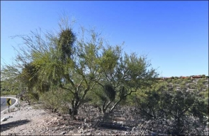 Palo Verde in need of help because it is riddled with mistletoe.
