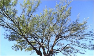 Mesquite which was recently thinned and rid of misteltoe.