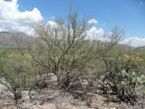 Natural Palo Verde with views through the branches.