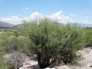 Palo Verde that has regrown after a haircut