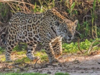 Jaguar in Pantanal         © 2014 Bill Page