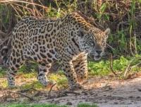 Jaguar in Pantanal         © 2014 Bill Page