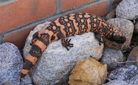 Gila Monster © Pam Negri