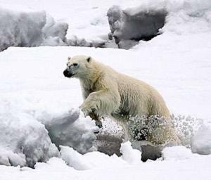 Polar Bear © Bill Page