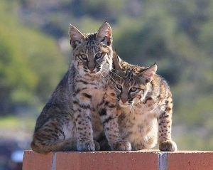 Bobcat kittens sitting on wall © Pam Negri Christmas Day 2011